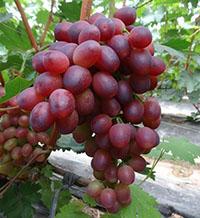 潍城区红芭拉蒂葡萄