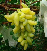 潍城区金手指葡萄