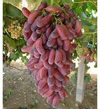 潍城区美人指葡萄